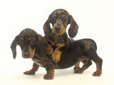 Dachshund Puppies Photographic Print by Pat Doyle
