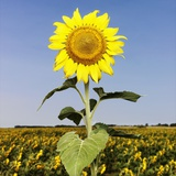 Field of Sunflowers Photographic Print by Ron Chapple
