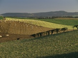 Sheep Grazing in Agricultural Fields in Northumberland Photographic Print by Mike McQueen