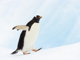 Gentoo Penguin on Iceberg in Gerlache Strait Photographic Print by John Eastcott & Yva Momatiuk