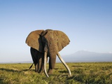 African Elephant with Large Tusks Photographic Print by Martin Harvey
