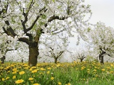 Cherry Trees and Dandelions in Bloom Photographic Print by Frank Lukasseck