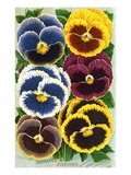 Seed Catalog Illustration of Six Pansy Blossoms Giclee Print