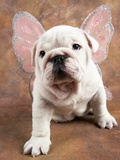 Bulldog Puppy Wearing Angel Wings Photographic Print by Peter M. Fisher