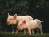 Yorkshire Piglets Photographic Print