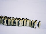 Emperor pinguins standing in a row, side view Photographic Print by Frank Krahmer