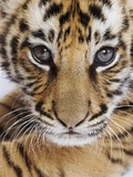 Tiger Cub Photographic Print by Martin Harvey