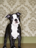 Boston Terrier Puppy Photographic Print by Don Mason