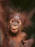 Orangutan and Baby Photographic Print