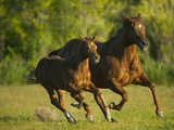 Horses Galloping Photographic Print