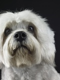 Dandie Dinmonts Terrier Photographic Print by Peter M. Fisher