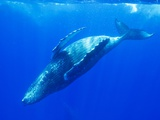 Humpback Whale Rolling Underwater Photographic Print by Paul Souders