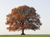 Oak Tree in Autumn Photographic Print by Frank Lukasseck