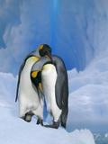 King Penguins Courting Reprodukcja zdjęcia