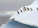 Gentoo Penguin Jumping Off Iceberg in Gerlache Strait Photographic Print by John Eastcott & Yva Momatiuk