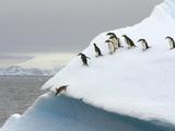 Gentoo Penguin Jumping Off Iceberg in Gerlache Strait Photographic Print by John Eastcott & Yva Momatiuk