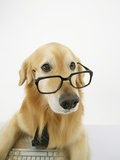 Golden Retriever Wearing Eyeglasses Photographic Print