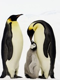 Emperor Penguins Feeding Chick Photographic Print by John Conrad