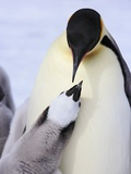 Emperor Penguin and Chick Photographic Print by Frank Lukasseck