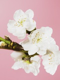 White cherry blossoms Photographic Print by Ada Summer