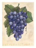 Bunch of wine grapes Giclee Print by Jennifer Blume