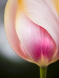 Tulip Photographic Print by Ted Dayton