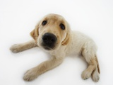 Golden Retriever Puppy Lying Down Photographic Print by Russell Glenister