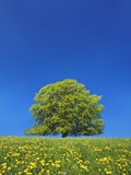 European Beech Tree in Meadow of Dandelions Photographic Print by Frank Krahmer