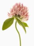Pink Clover Flower Photographic Print by Robert Llewellyn