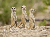 Meerkat Pups, Namibia Photographie par Paul Souders