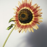 Sunflower Bloom Still Life Photographic Print by David Roseburg