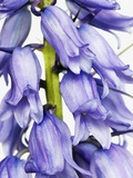 Bluebell Photographic Print by Frank Krahmer