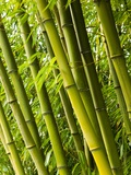 Bamboo plants Fotografie-Druck