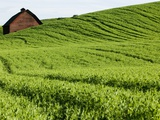 Field of Peas on Rolling Hills Photographic Print by Bill Stormont