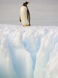 Gentoo Penguin on Ice Floe on the Antarctic Peninsula Photographic Print by John Eastcott & Yva Momatiuk