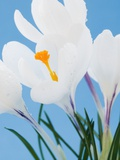 White crocuses Photographic Print by Ada Summer