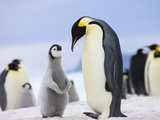 Emperor Penguin With Chick Photographie par Keren Su