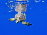 Underwater View of Green Sea Turtle Photographic Print by Paul Souders