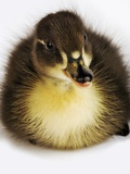 Call Duck Duckling Photographic Print by Martin Harvey