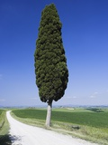 Cypress Tree by Unpaved Road Photographic Print by Frank Lukasseck