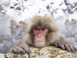 Japanese Snow Monkey in Hot Spring in Winter Photographic Print by Frank Lukasseck
