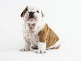 Bulldog Puppy Lmina fotogrfica por Peter M. Fisher