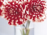 Dahlias in vase Photographic Print by Clinton Hussey