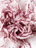 Close-Up of Pink and White Carnation Photographic Print by Clive Nichols