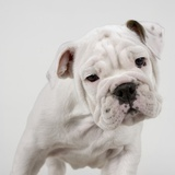 English Bulldog Puppy Photographic Print by Wojtek Kalinowski