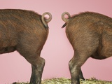 Two Piglets' Backsides Photographic Print