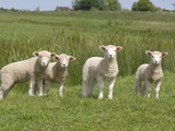 Lambs in Field Papier Photo par Pat Doyle