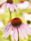 Purple coneflowers (Echinacea purpurea) Photographic Print by Peter Frank