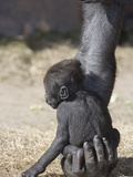 Baby Gorilla Sitting on Mother's Hand Photographic Print
