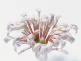 White Chrysanthemum Photographic Print by Cora Buttenbender